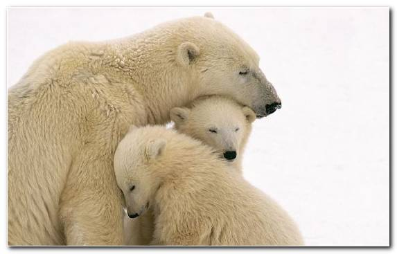 Image Fauna Polar Bear Mammal Grizzly Bear Brown Bear