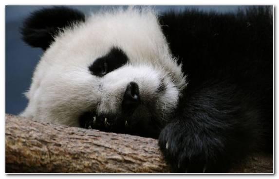 Image Fauna Red Panda Snout Polar Bear Bear