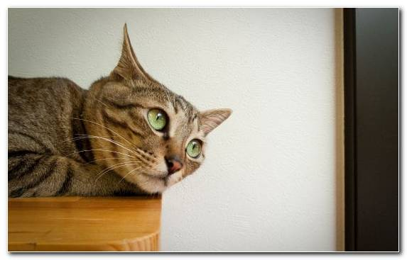 Image Fauna Small To Medium Sized Cats Dragon Li Mammal Felidae