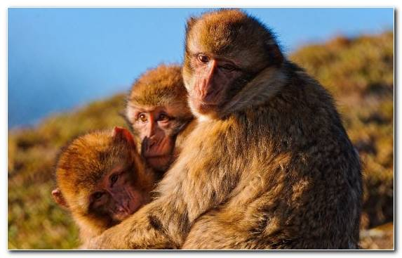 Image Fauna Snout Wildlife Mammal New World Monkey
