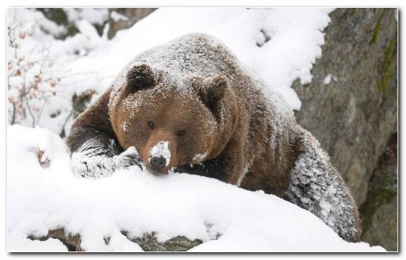 Image Fauna Snow Grizzly Bear Taiga Roar