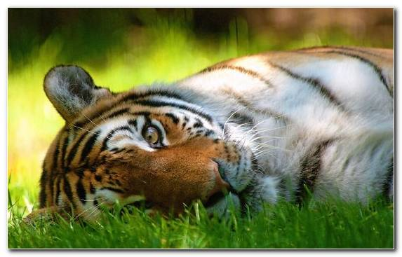 Image Fauna Wildcat Mammal Snout Terrestrial Animal
