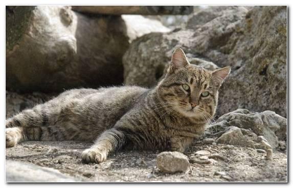 Image Fauna Wildcat Pixie Bob Mammal Tabby Cat