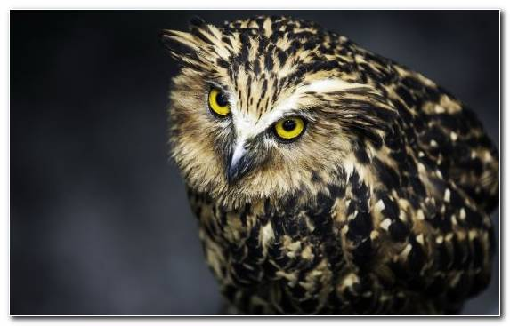 Image Fauna Wildlife Eurasian Eagle Owl Bird Bird Of Prey