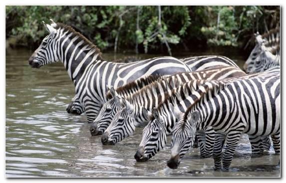 Image Fauna Wildlife Mammal Quagga Zebra
