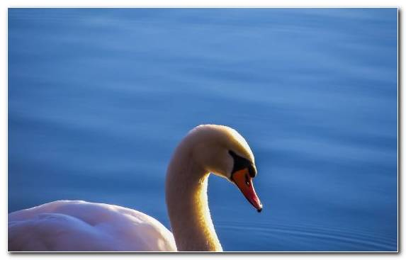 Image Feather Close Up Ducks Geese And Swans Sky Water