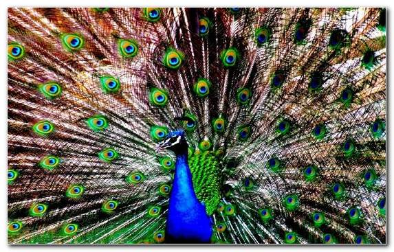 Image Feather Galliformes Phasianidae Animal Peafowl