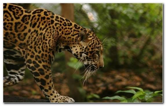 Image Felidae Cat Animal Puma Terrestrial Animal