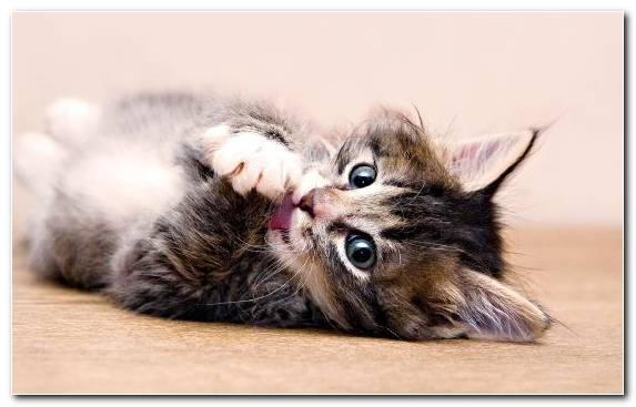 Image Felidae Cat Claw Fur Puppy