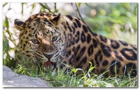 Image Felidae Grass Snout Leopard Wolf
