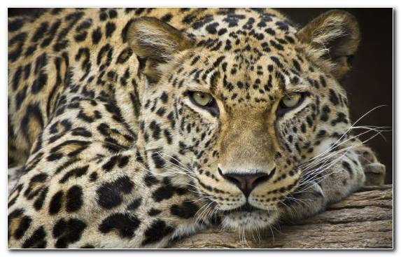 Image Felidae Jaguar African Leopard Big Cats Big Cat