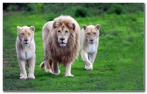 Image Felidae Tiger Big Cat Zoo Masai Lion