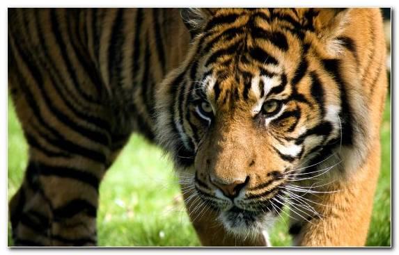 Image Felidae Tiger Terrestrial Animal Fauna Snout