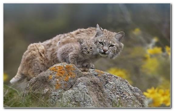 Image Felidae Wildlife Canada Lynx Lion Fauna