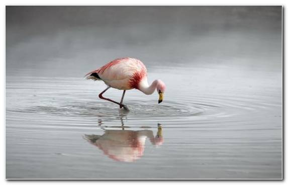 Image Flamingo Water Bird Bird Beak Reflection