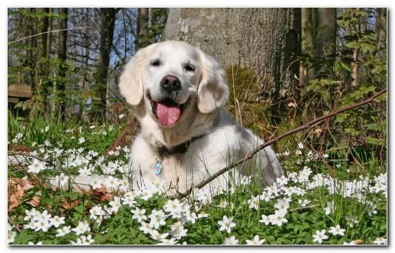 Image flat coated retriever golden retriever animal labrador retriever dog breed