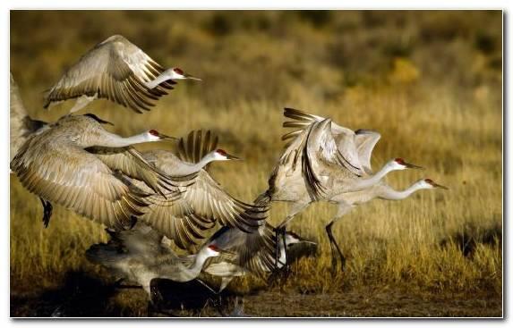 Image Flight Crane Like Bird Bird Ecoregion Herd