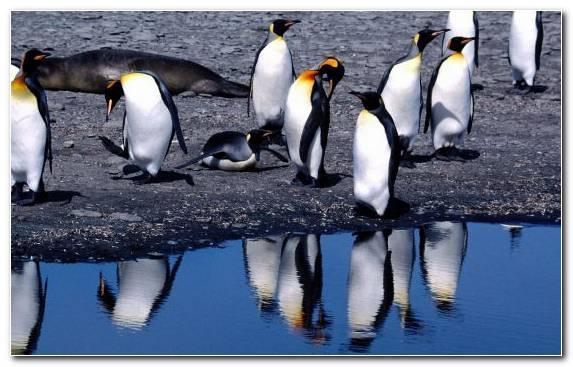 Image Flightless Bird Fauna King Penguin Wildlife Beak