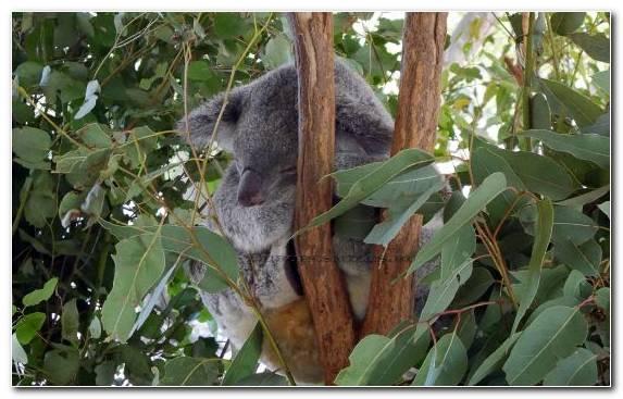 Image Flora Leaf Animal Koala Tree