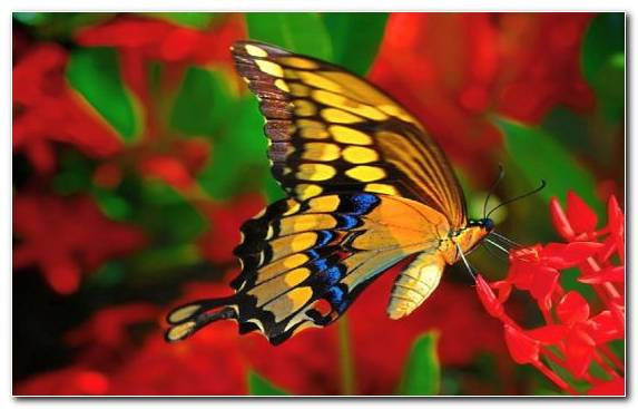 Image Flower Butterfly Swallowtail Butterfly Insect Pollinator