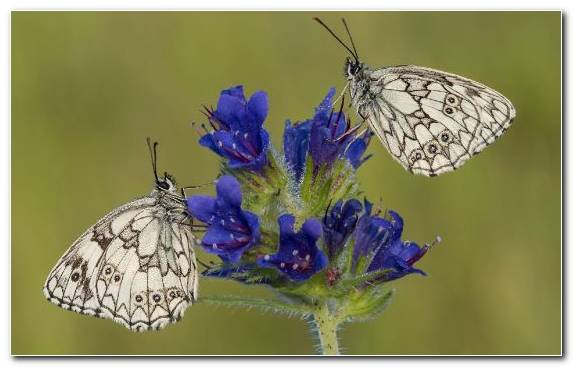 Image Flower English Lavender Pollinator Brush Footed Butterfly Invertebrate