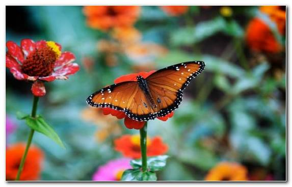 Image Flower Lycaenid Floral Design Pollinator Brush Footed Butterfly