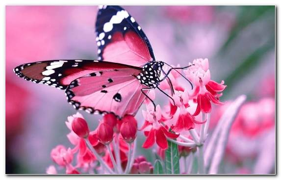 Image Flower Moths And Butterflies Insect Pink Brush Footed Butterfly