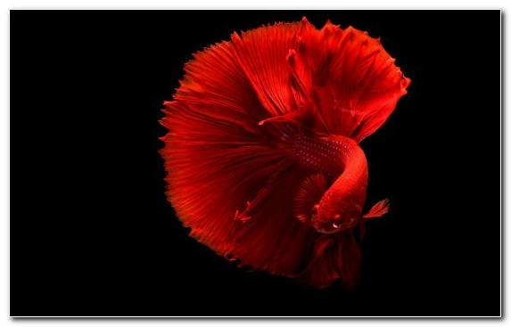 Image Flowering Plant Petal Aquarium Illustration Goldfish