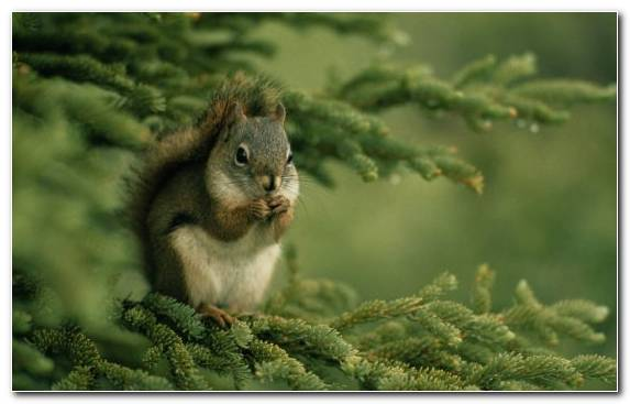 Image Fox Squirrel Rodent Branch Wildlife Squirrel