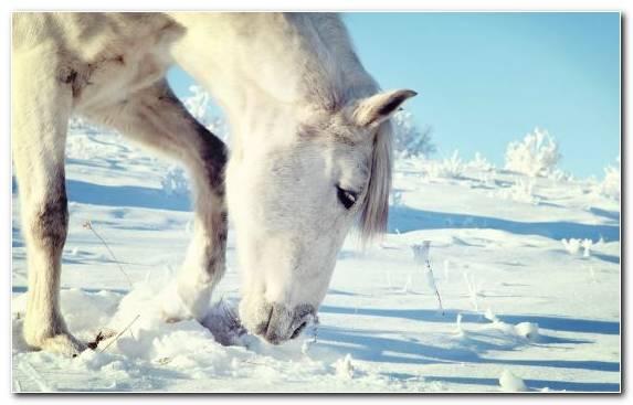 Image Freezing Camargue Horse Snow Horse Hoof Mane