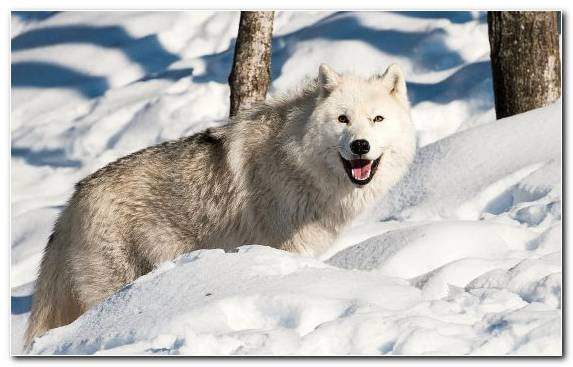 Image Freezing Snow Canis Lupus Tundrarum Dog Like Mammal Canadian Eskimo Dog