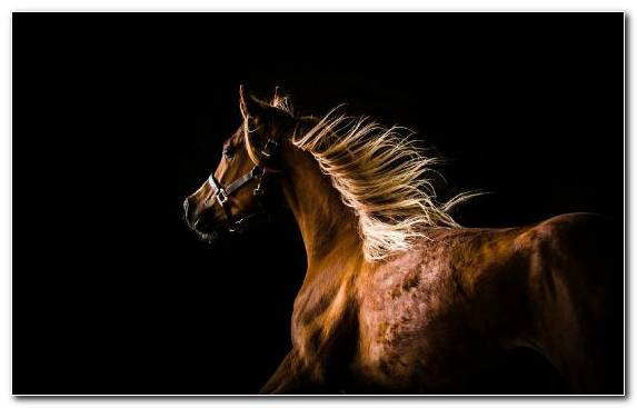 Image Friesian Horse Snout Horse Mane Dog