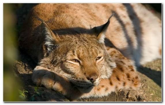 Image Fur Canada Lynx Eurasian Lynx Wildcat Bobcat