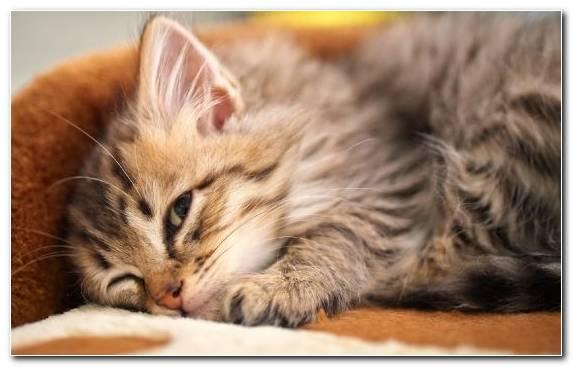 Image fur cat kitten dragon li small to medium sized cats