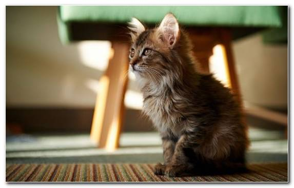 Image Fur Cat Maine Coon Dog Moustache