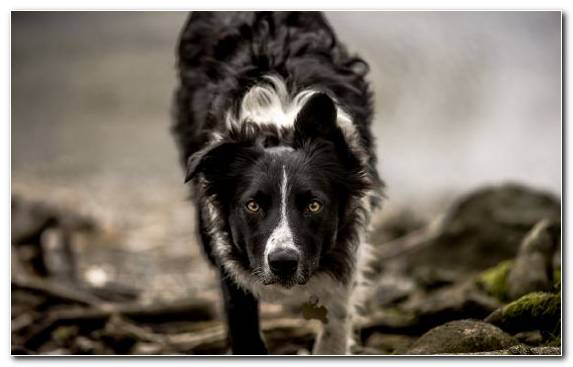 Image Fur Dog Breed Group Dog Black And White Breed