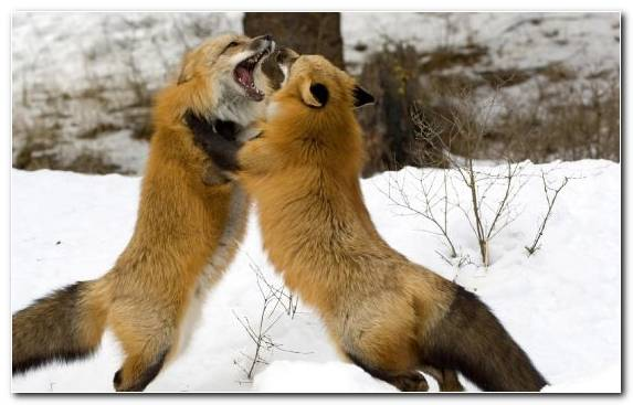 Image Fur Scramble Red Fox Fox Wildlife