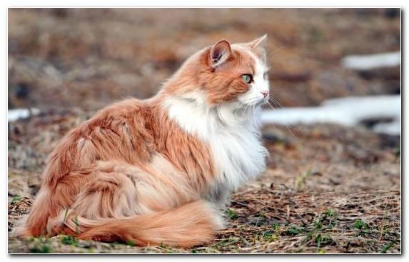 Image Fur Wildlife Black Cat Cat Breed Havana Brown