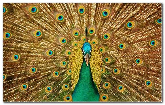Image Galliformes Phasianidae Bird Feather Peafowl