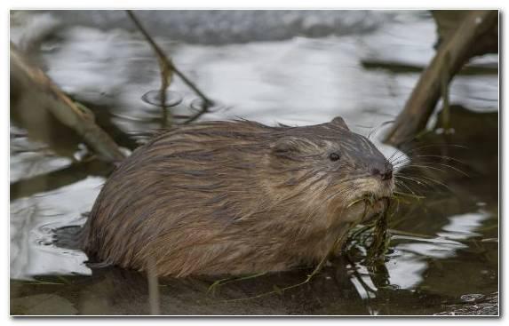 Image gerbil rat mouse muskrat muridae
