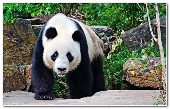Image Giant Panda Terrestrial Animal Fauna Bear Snout