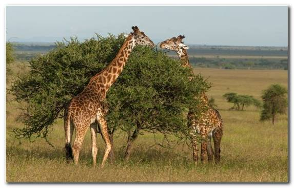 Image Giraffe Animal Northern Giraffe Grazing Terrestrial Animal