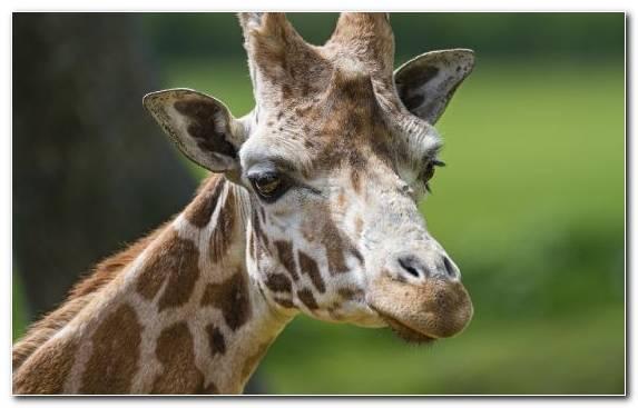 Image Giraffe Giraffidae Antelope Fact Northern Giraffe