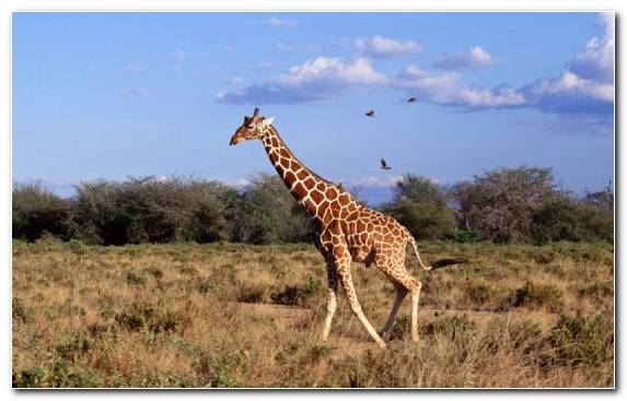 Image Giraffe Nature Reserve Maasai Mara Leopard Wilderness