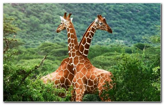 Image Giraffe Painting Grasses Ios Terrestrial Animal