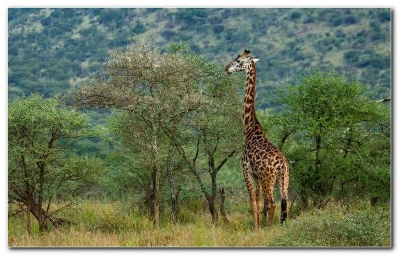 Image Giraffe Tree Nature Reserve Wildlife Wilderness