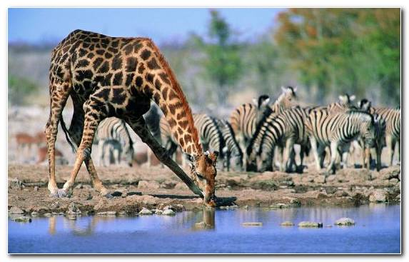 Image Giraffidae Cat Animal Giraffe Grazing