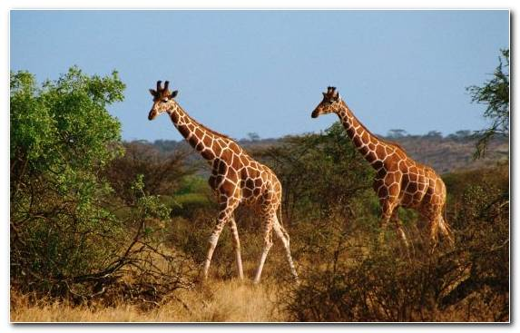 Image Giraffidae Desert Wildlife Savanna Animal