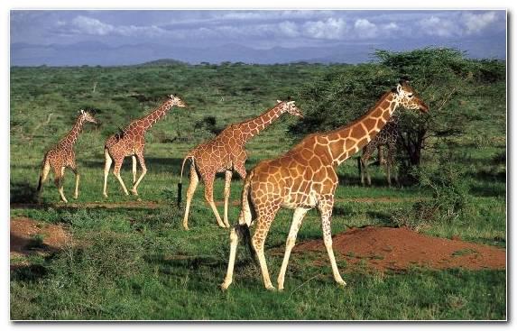 Image Giraffidae Ecosystem Park Nature Reserve Desert