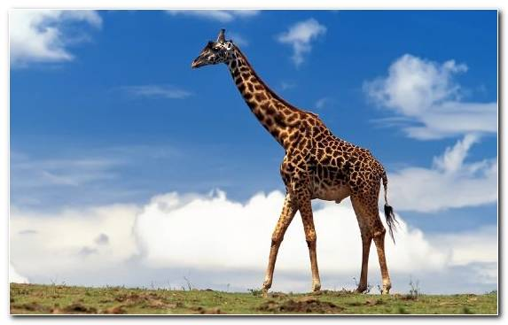 Image Giraffidae Horses Sky Northern Giraffe Grassland